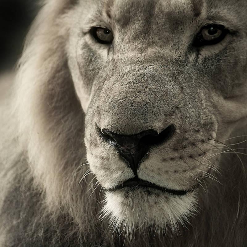 voyage-Afrique-du-Sud-Globe-Travel-lion